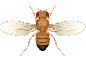 Drawing of a fruit fly, viewed from above.