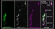 The development of clock cells in Drosophila