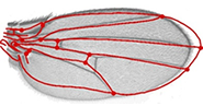 Signalling by Phosphoinositide Lipids (PIPs) in a fly wing