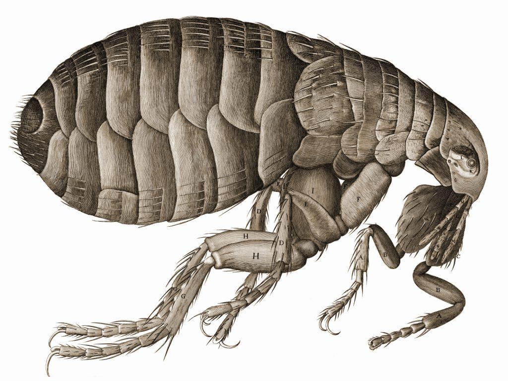 Hooke flea